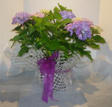 "10"" HYDRANGEA Outdoor Blooming Plant"