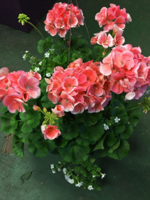 10 Inch Geranium Hanging Basket With Bacopa