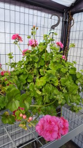 10 inch pot pink geranium outdoor plant