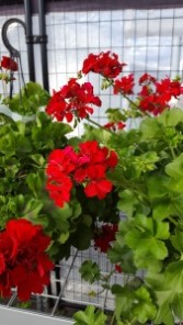 10 inch pot red geranium outdoor plant