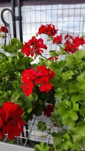 10 inch pot red geranium outdoor plant