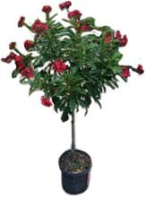 "10"" Jatropha Tree Plant"