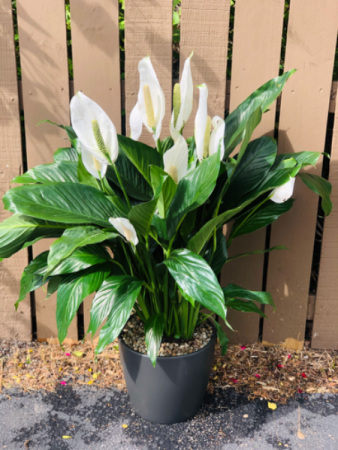 "10"" Peace Lily  In Ceramic Matte Black Pot"