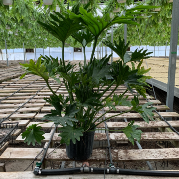 """10"""" Philodendron Hope"""