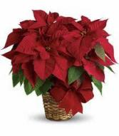 """10"""" Poinsettia Christmas"""