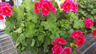 "10 "" potted verigated ASSORTED COLORS geranium  Outdoor plant"