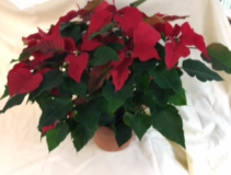 "10"" Red Poinsettia"