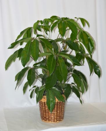 """10"""" Schefflera GREEN PLANT"""