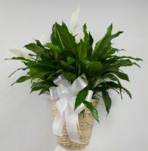 "10"" Spath (Peace Lily) in Wicker Basket"