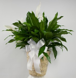"10"" Spath (Peace Lily) in Wicker Basket  in Culpeper, VA 