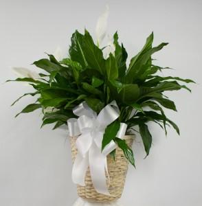 "10"" Spath (Peace Lily) in Wicker Basket"