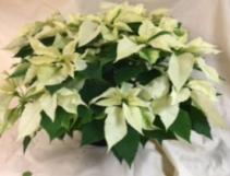 """10"""" White Poinsettia"""