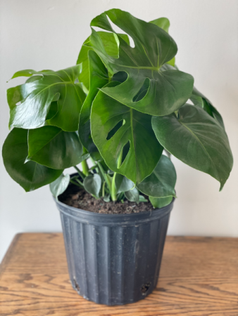 10'Split Leaf Monstera