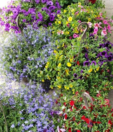 "11"" Hanging Basket Blooming annual plant"