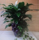 Exquisite Peace Lily & Ivy Plant