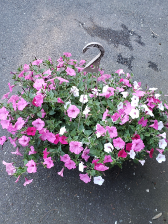 "12"" Assorted Petunia Baskets"