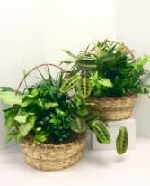 "12"" Basket Dish Garden Green Plants"