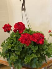 "12"" Geranium Outdoor Hanging Basket"