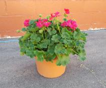 """12"""" hot pink geranium in pot Outdoor plant"""