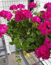 12 inch pot hot pink geranium with vine plant