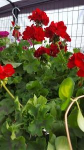 12 inch pot red geranium  outdoor plant