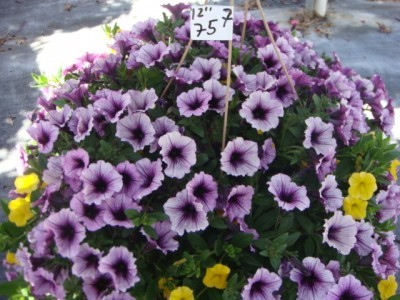 12 Inch Summer Hanging Basket One of 12 Varieties
