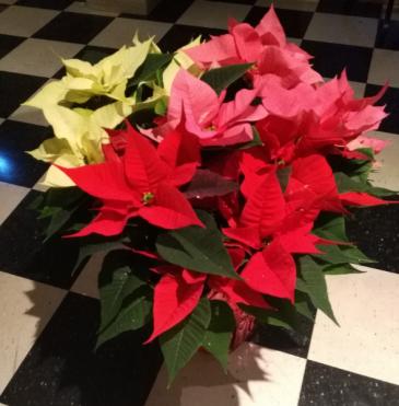 10 Inch Tri Colored Poinsettia  Plant