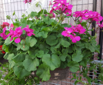 "12"" orchid colored geranium with white scaevola Outdoor plant"