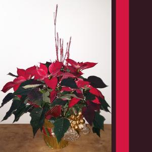 "12 "" Poinsettia Christmas in Langford, BC   PETALS N BUDS METCHOSIN FLORIST"