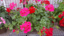"12"" potted hot pink and red geranium Potted outdoor plant"