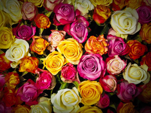 24 Rose Bouquet 24 Colored roses in Abbotsford, BC | BUCKETS FRESH FLOWER MARKET