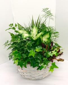 "14"" Basket Dish Garden Green Plants"