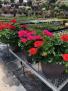 Large Geranium Outdoor plant