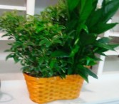 """2 6"""" plants in a wicker basket with a bow."""