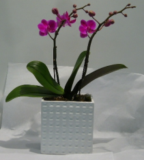 2 STEM MINIATURE PHALAENOPSIS ORCHID Indoor Blooming Plant