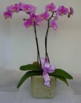 2 STEM ORCHID PLANT Flowering Plant