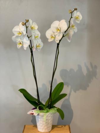 2 Stem phalaenopsis Orchid Plant