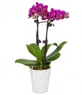 2 Stem Orchid Plant
