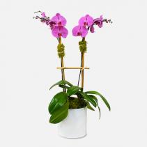 2-Stem Purple Phalaenopsis