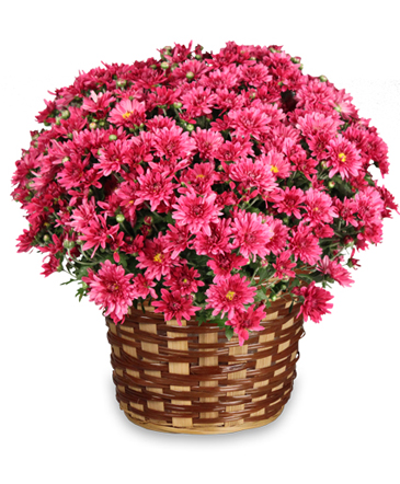 DAISY MUM BASKET Blooming Plant in South Milwaukee, WI | PARKWAY FLORAL INC.