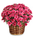 DAISY MUM BASKET Blooming Plant