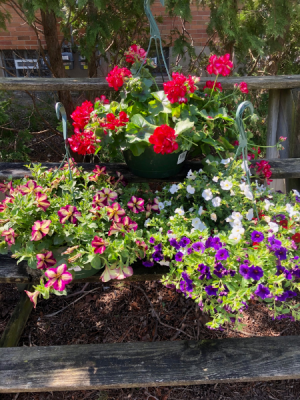 """3 10"""" Hanging Baskets Plant  in Kettering, OH 