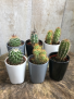 "3"" cactus in ceramic pots 3"" cactus in ceramic pots"