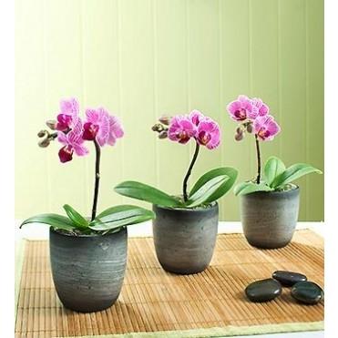 3 Mini Phalaenopsis Orchid Indoor Plant