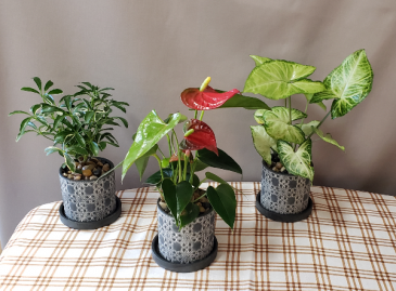"3"" Mini Plants in Deco Planter"