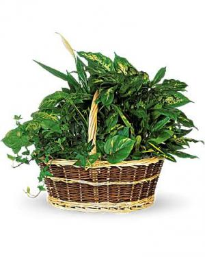 3 plant deluxe basket Woven Basket  Plant Container in Fairview, TN | Holman Florist