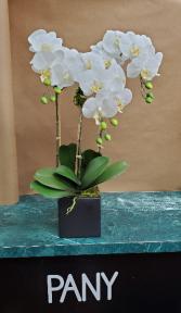 3 White Orchid Arrangements