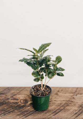 "4"" Arabica Coffee Plant Plant"