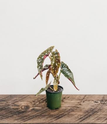 """4"""" Begonia Maculata Wightii, Polka Dot Plant"""