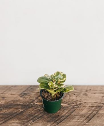 """4"""" Peperomia Obtusifolia 'Pepperface' Plant"""